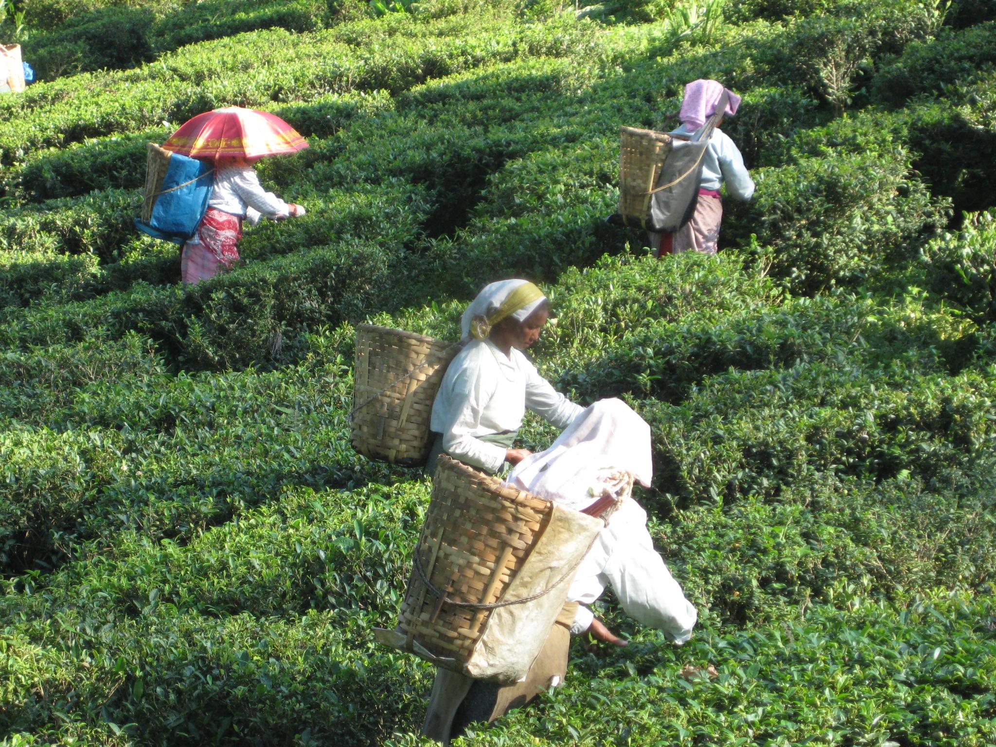シンゲル茶摘み